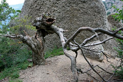 The old curve dry tree among rocks. Royalty Free Stock Photography