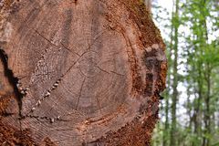 Old cut of a big pine tree in the forest.  Stock Photo