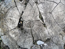Old cut down tree Royalty Free Stock Image