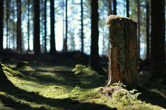 Old cut down tree trunk in fir forest Royalty Free Stock Image