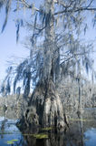 Old Cypress Tree. Spanish moss hangs from old cypress tree in bayou stock photo