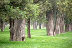 Old cypress trees in park. Old cypress trees of several hundred years in grass field in the temple of heaven park, Beijing Royalty Free Stock Image