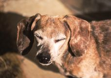 Old Dachshund with Eyes Closed royalty free stock photo