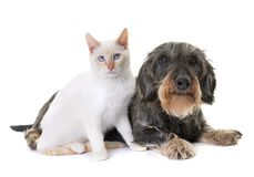 Dachshund and kitten. Old dachshund and kitten in front of white background stock images