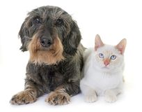 Dachshund and kitten Stock Images