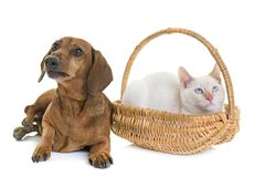 Dachshund and kitten Stock Photos