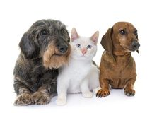 Dachshund and kitten. Old dachshund and kitten in front of white background stock image