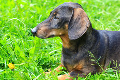 Old dachshund Royalty Free Stock Images