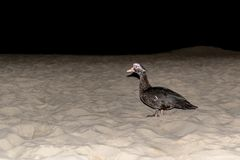 Old dagger walking on the beach. Strange albatros all black walking alone on the beach by the sea Royalty Free Stock Images