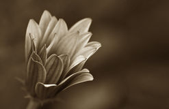 Old daisy flower brown image Stock Image