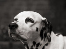 Old dalmatian lady Stock Photo