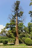 Old damaged juniper grows in the city Park of Alupka. Park alley of Vorontsov Palace royalty free stock photos