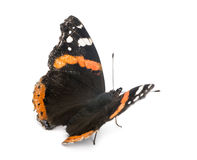 Old, damaged Red Admiral butterfly, Vanessa atalanta. Against white background Royalty Free Stock Photo