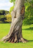 Old damaged trunk of a horse chestnut tree. Royalty Free Stock Photography