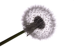 Old dandelion Stock Photography