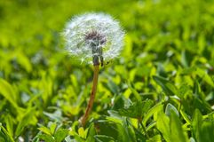 Old dandelion Stock Photo