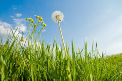 Old dandelion and blue sky Royalty Free Stock Photo