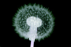 Old dandelion flower Stock Images
