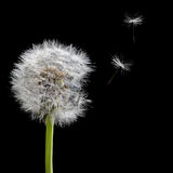 Old dandelion and flying seeds isolated on black. Background royalty free stock images