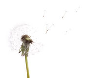 Old dandelion and flying seeds on white stock photography