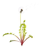 Old dandelion with green leaves. Old dandelion and flying seeds isolated on white background royalty free stock photo