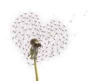 Old dandelion heart shape and flying seeds Stock Images