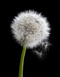 Old dandelion isolated on black Royalty Free Stock Images