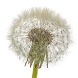 Old dandelion isolated on white background.  royalty free stock photo