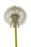 Old dandelion isolated on white background.  royalty free stock photography