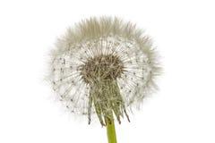Old dandelion isolated on white background.  stock photo
