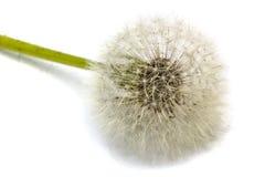 Old dandelion isolated on white background.  royalty free stock photos