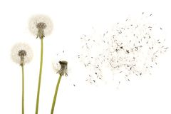 Old dandelion isolated on white background closeup.  stock images