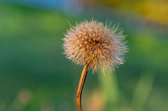Old dandelion in the morning sun Royalty Free Stock Images
