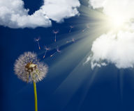 Old dandelion under sun Stock Images
