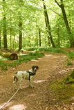 Old danish pointer dog in leash at a path in the forest Stock Photos