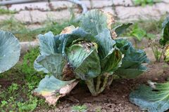 Old dark green Cabbage or Headed cabbage leafy green annual vegetable crop with withered and partially dried leaves growing in. Local garden surrounded with stock images
