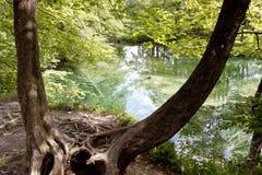 Old dark tree - Plitvice lakes, Croatia. Royalty Free Stock Image