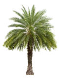 Old Date Palm Tree Isolated On White Stock Images