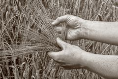 Old days. Barley in the hand of a woman, just like in old days, when everything was done by hands and simple equipment stock image