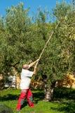 Old days olive harvest Royalty Free Stock Photo