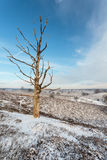 Old dead leafless tree in winter. In nationale park The Veluwe in The Netherlands royalty free stock images