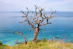 The old dead oak tree and sea Stock Image