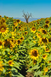 Old dead oak tree in sunflower field Stock Photography