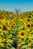 Old dead oak tree in sunflower field Stock Photography