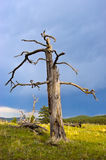 Old Dead Pondersoa Pine Tree Royalty Free Stock Images