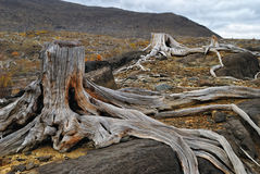 Old dead stumps Royalty Free Stock Image