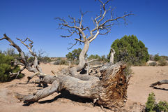 Old Dead Tree. A dead tree in the arches NP utah USA stock photo