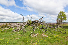 Old dead tree Royalty Free Stock Photography