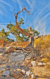 Old dead tree. An old dead tree in The Grand Canyon royalty free stock images