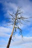 Old Dead Tree Royalty Free Stock Image
